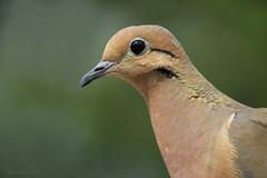 Zenaida auriculata (Wilmer Quiceno) Tags: zenaidaauriculata eareddove torcaza aves birds birding