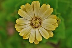 flower (ecordaphoto) Tags: flower fiore nikon d5100 dx sigma105 macro yellow giallo