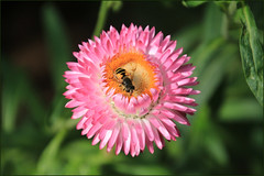 Pink Beauty (Mabacam) Tags: 2016 london kew kewgardens flowers plants pink everlasting insect bee nature summer