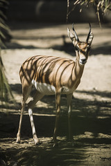 Gacela (agermay) Tags: sigma 70210mm f28 nikon d7200 zoo animales