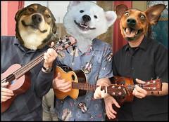 UkeDogs2 (FolsomNatural) Tags: ukulele trio dogs humor spoof