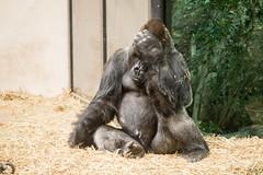 2015-05-11-09h48m25.BL7R0811 (A.J. Haverkamp) Tags: amsterdam zoo gorilla thenetherlands artis dierentuin akili httpwwwartisnl dob16101994 canonef100400mmf4556lisusmlens pobfrankfurtgermany