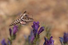 Mariposa esfinge (Hyles livornica) (Jjtoscano) Tags: esfinge tamron mariposa córdoba echium 70300 d90 hyles plantagineum guadalcázar viborera livornica