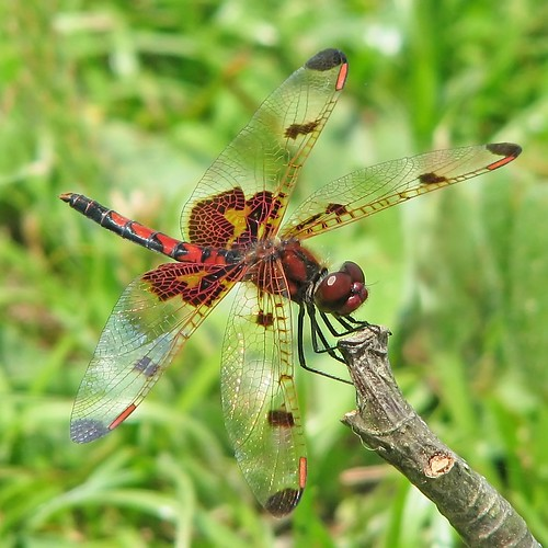 Calico pennant - first of the year