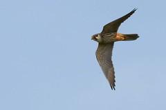 DSC_5925 boomvalk (Falco subbuteo)