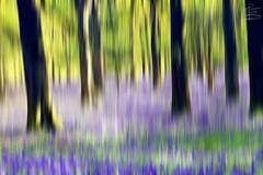 Wild Woods (RichardBeech) Tags: wood flowers trees motion blur nature bluebells woodland landscape spring thomas cottage dorset wildflowers panning dorchester icm hardy intentionalcameramovement richardbeech wwwrichardbeechphotographycom
