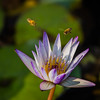 lotus & bees 荷花 (Yi-Liang Lai) Tags: flowers flower macro canon pond flora lotus bees taiwan bee kaohsiung 台灣 蜜蜂 6d 荷花 蓮花 紫色 香水蓮 胖白