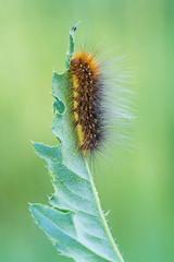 Arctia caja (Prajzner) Tags: morning macro nature butterfly nikon moth sigma poland naturallight lepidoptera arctiacaja manfrotto sigma105mmmacro gardentigermoth subcarpathia nikond7100 prajzner manfrottomt190xpro3