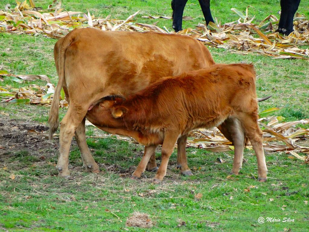 Águas Frias (Chaves) - ...vitelo mamando na vaca ...