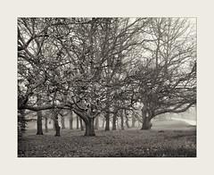 Trees in Fog Andersons Mill Smeaton (plee5811) Tags: blackandwhite film landscape 400 filmcamera filmscan bergger pancro largeformatfilmcamera