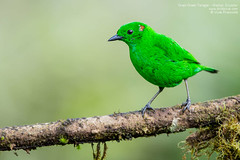 Grass Green Tanager - Mashpi, Ecuador (Vivek Khanzod (www.birdpixel.com)) Tags: nature birds ecuador wildlife lifer grassgreentanager mashpi