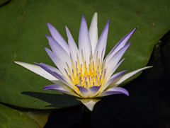 Water Lily at Longwood Gardens (tresed47) Tags: 2016 201607jul 20160711longwoodflowers canon7d chestercounty content flowers folder lily longwoodgardens pennsylvania peterscamera petersphotos places takenby us waterlily