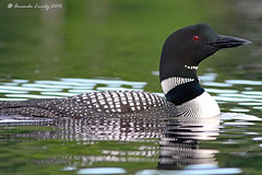 Maine 2016 LSL - Common Loon (34)a (maerlyn8) Tags: commonloon loon canon 400mm june 2016 maine littlesebagolake sebago bird avian fauna animal waterfowl