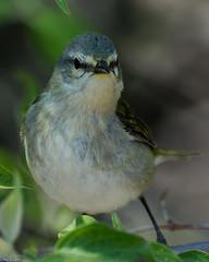 Got his attention (Explored) (Fred Roe) Tags: nature birds wildlife birding tennesseewarbler birdwatching warbler birdwatcher mageemarshwildlifearea oreothlypisperegrina nikond7100 nikkorafs80400mmf4556ged lca71d1747