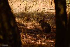Oculto?...Click! (marcus turkill) Tags: naturaleza rabbit nature fauna nikon conejo animales nikond3300