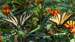 Pale Swallowtail and Western Tiger Swallowtail together on garden milkweed (Treebeard) Tags: paleswallowtail papilioeurymedon westerntigerswallowtail papiliorutulus garden milkweed butterflyweed asclepiastuberosaasclepias curassavicaasclepiadaceaesan marcos passsanta barbara county california