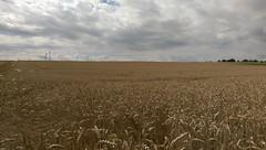 Getreidefeld bei Alzey