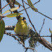 BL4A8676.jpg American Goldfinch, Harkins Slough