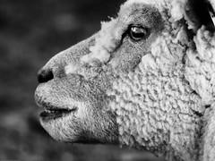 Mutton Chops (P'sych) Tags: holiday kent sheep farm oasthouse pottsfarm
