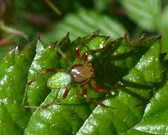 Araniella sp. (bego vega) Tags: madrid macro animal spider araa vega bv bego arachnida araniella araneidae cotos arcnido