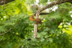 7K8A3830 (rpealit) Tags: scenery wildlife nature east hatchery alumni field hackettstown red squirrel jumping