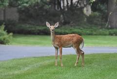 Hello there! (stevelamb007) Tags: deer whitetail fawn wildlife illinois riverwoods stevelamb nikon d7200