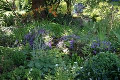 ckuchem-3597 (christine_kuchem) Tags: biogarten farn frauenmantel garten gartenstaude landhausgarten mauer naturgarten privatgarten sitzplatz staude stein steinmauer taglilien trockenmauer vorgarten ziergarten