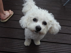 Bichon Frise (SamJWilsonPhotography) Tags: bichon frise dog cute puppy face fluffy doggie ears floppy nose mouth sparkly begging sweet adorable fluffffffffffffy tail waggin sjwpics samwilsonpics sjw sunny pets animals domestic cross crossbreed breed pet floor outside