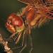 204/366 - Hallowe'en Pennant - Celithemis eponina, Julie Metz Wetlands, Woodbridge, Virginia