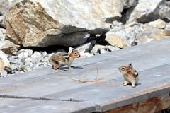 IMG_3980 (vipermikey) Tags: canada rockies rockymountains banff banffnationalpark alberta mt norquay chairlift goldenmantledgroundsquirrel mtnorquay