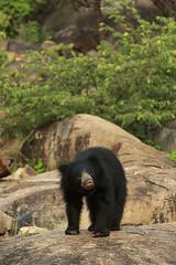 Sloth Bear_1 (varmarohit) Tags: slothbear bear india indianforest karnataka rohitvarma rohit naturephotography nature wildlifephotography wilderness wildlifephotograph wildindia daroji