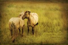 Photo art, Highland ponies (shugsfishing) Tags: horse animals fauna photomanipulation mammal scotland unitedkingdom pony aged photoart equus arisaig chordata perissodactyla highlandpony agedlook domesticatedhorse horsefamily painterlylook equusferus equusferuscaballus