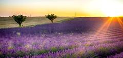 Au Couchant........ (Malain17) Tags: soleilcouchant lavender paysage landscape image photography photographers pentax flickrbronzetrophygroup flickr perspective colors sillons arbres champs provence france