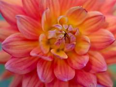Pink Flower f1.4 (dennisgg2002) Tags: towerhillbotanicalgardenboylston massachusetts flowers vintage lens wide open