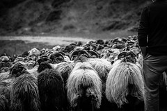 Berger. (cedland) Tags: berger mouton moutons shepherd sheep ram wool black white moutain montagne pyrnes france pays basque 64 2016 travail work hardwork worker stylelife campagne country
