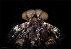 IMG_9486 (NonnaSP) Tags: animals bali diving indonesia macro mantisshrimp nature ocean sea seraya shrimp snoot tulamben underwaterphotography water