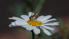 Blomsterflue i hvit margeritt - Hoverfly in Daisy (TLU66) Tags: macro d90 nikon afmicronikkkor105mm128d episyrphusbalteatus blomsterflue daisy margeritt hoverfly