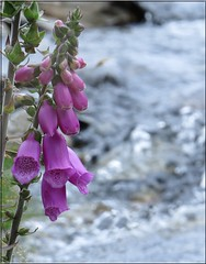 2817 fx1 Foxglove (Andy panomaniacanonymous) Tags: 20160721 babblingwater bbb fff flower foxglove nantffrancon photostream sss stream water www