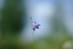 (Kenga2) Tags: flower light nature macro bikes summer blue