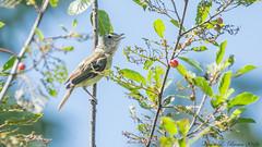 Bell's Vireo (BirdFancier01) Tags: nature berries songbird vireo bells