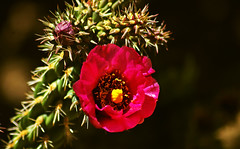 Pink Bloom (F.emme) Tags: flowers blossoms blooms cactus desertplants desert