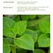 Plectranthus amboinicus - Bangun Bangun