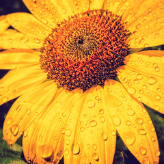 Sunflower Squared (gimmeocean) Tags: sunflower drops waterdrops waterdroplets petals yellow sunny iphoneography iphonenography iphone newjersey rahway