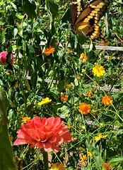 Visitors to the Children's Garden (glantine) Tags: visiteurs visitors garden jardin childrensgarden flowerymaze insectgarden jardinpourlesinsectes cheznous butterfly papillon swallowtail giantswallowtail paradis