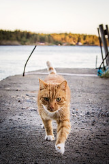Tiger (RobT4L) Tags: canon canon7dmark2 canon7dmarkii canon24105 nature sweden fall summer sun skrstter hgakusten view cat pet sunset space eyes tiger explore
