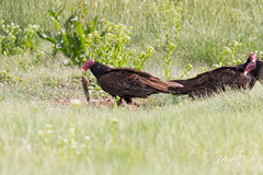 Turkey Vulture rips into a Prairie Dog carcass
