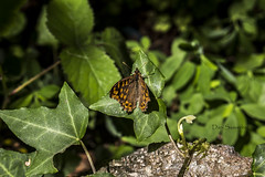 Mariposa de los Muros - Pararge aegeria (dani.saavedra) Tags: canon eos 1855 mariposa 700d