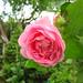 Flowers - (PL) Róża