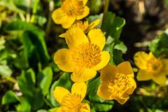 Sumpfdotterblume (stefangruber82) Tags: alps tirol tyrol marshmarigold calthapalustris kingcup alpesn