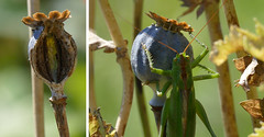 Grnes Heupferd  - Tettigonia viridissima - Great Green Bush-cricket (steffi's) Tags: tettigoniidae tettigoniaviridissima greatgreenbushcricket grnesheupferd heugmper grossesheupferd grossesgrnesheupferd